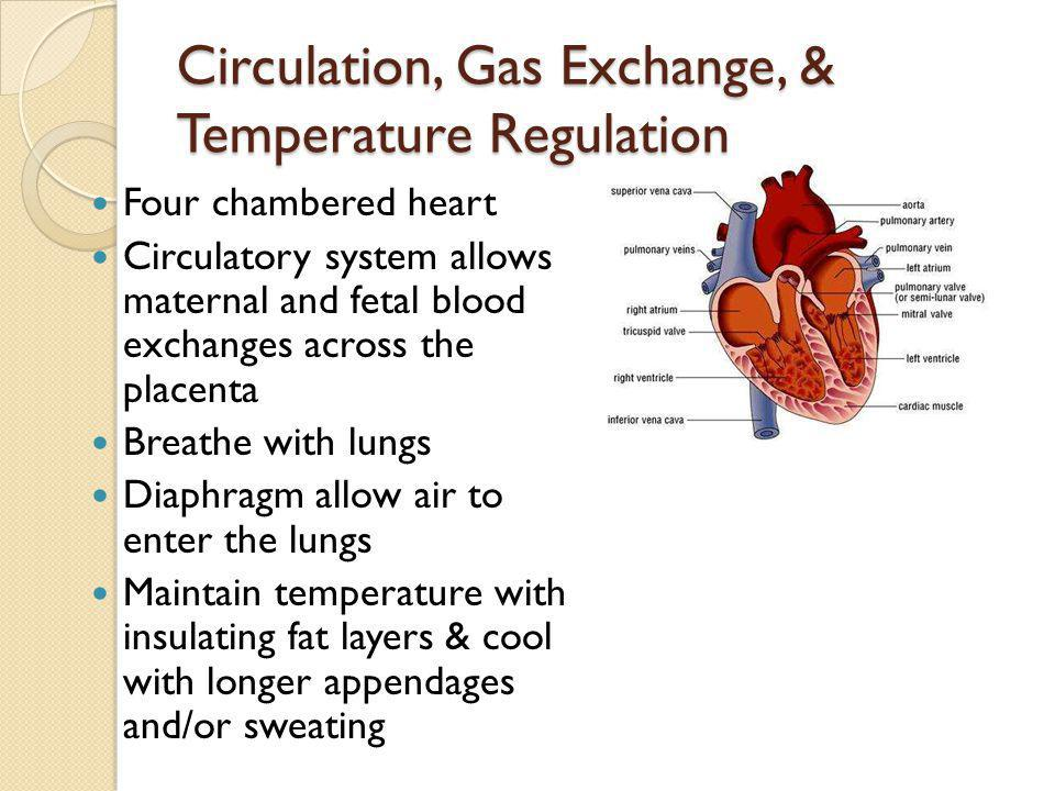 Circulation, Gas Exchange, & Temperature Regulation