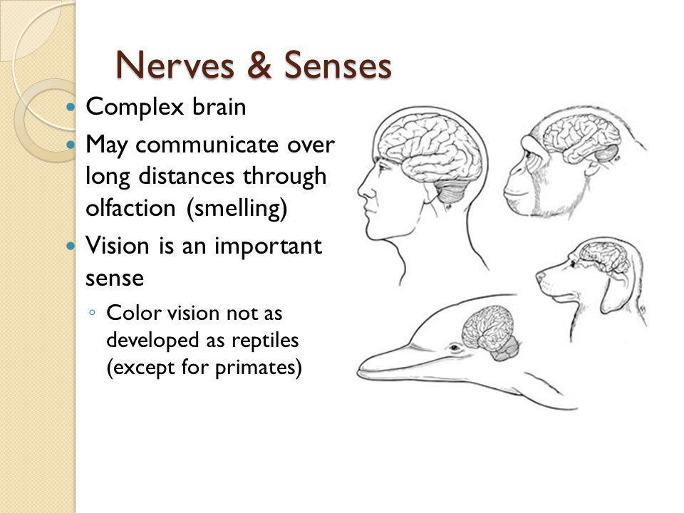 Nerves & Senses Complex brain