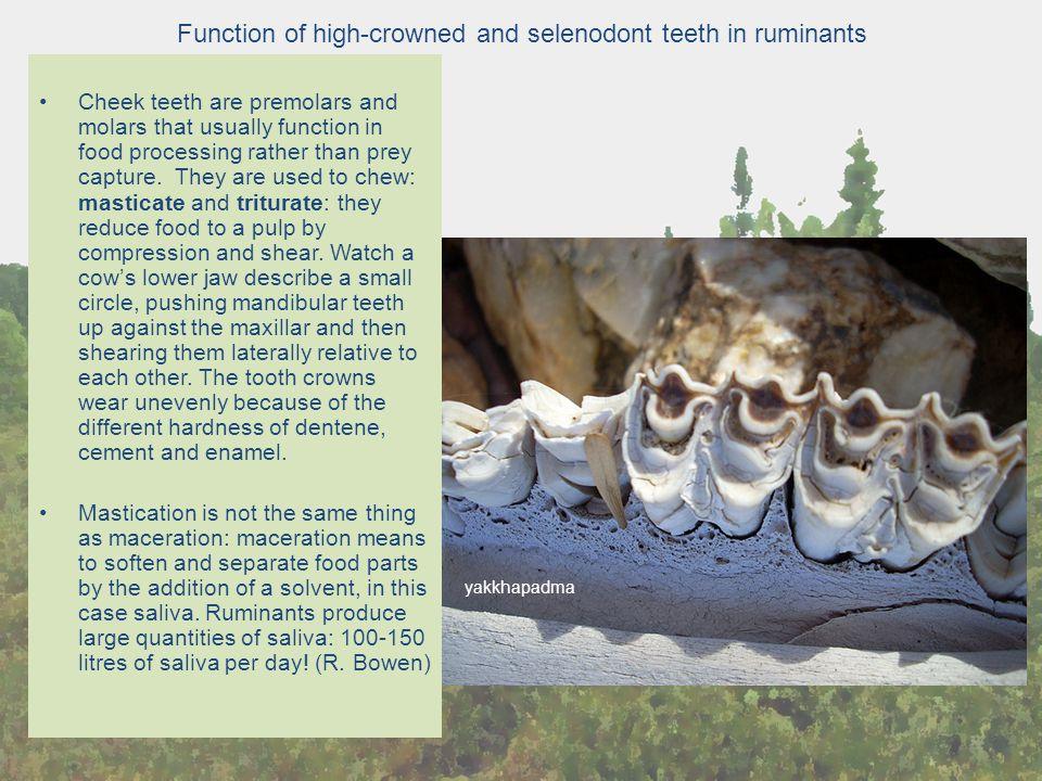 Function of high-crowned and selenodont teeth in ruminants