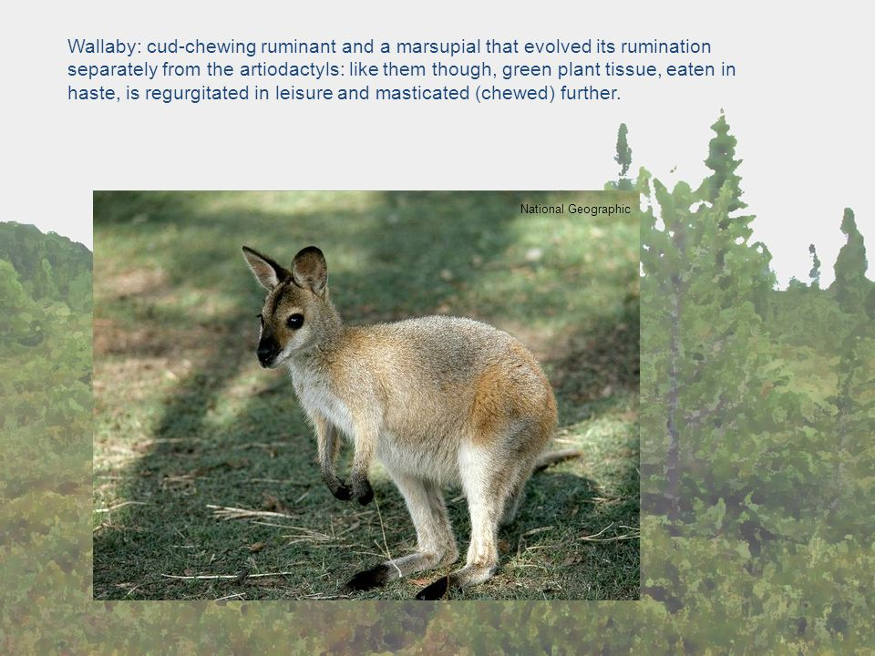 Wallaby: cud-chewing ruminant and a marsupial that evolved its rumination separately from the artiodactyls: like them though, green plant tissue, eaten in haste, is regurgitated in leisure and masticated (chewed) further.
