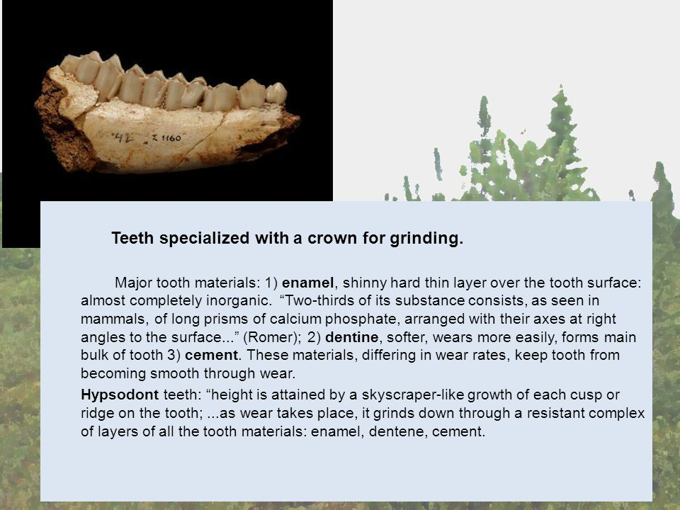 Teeth specialized with a crown for grinding.