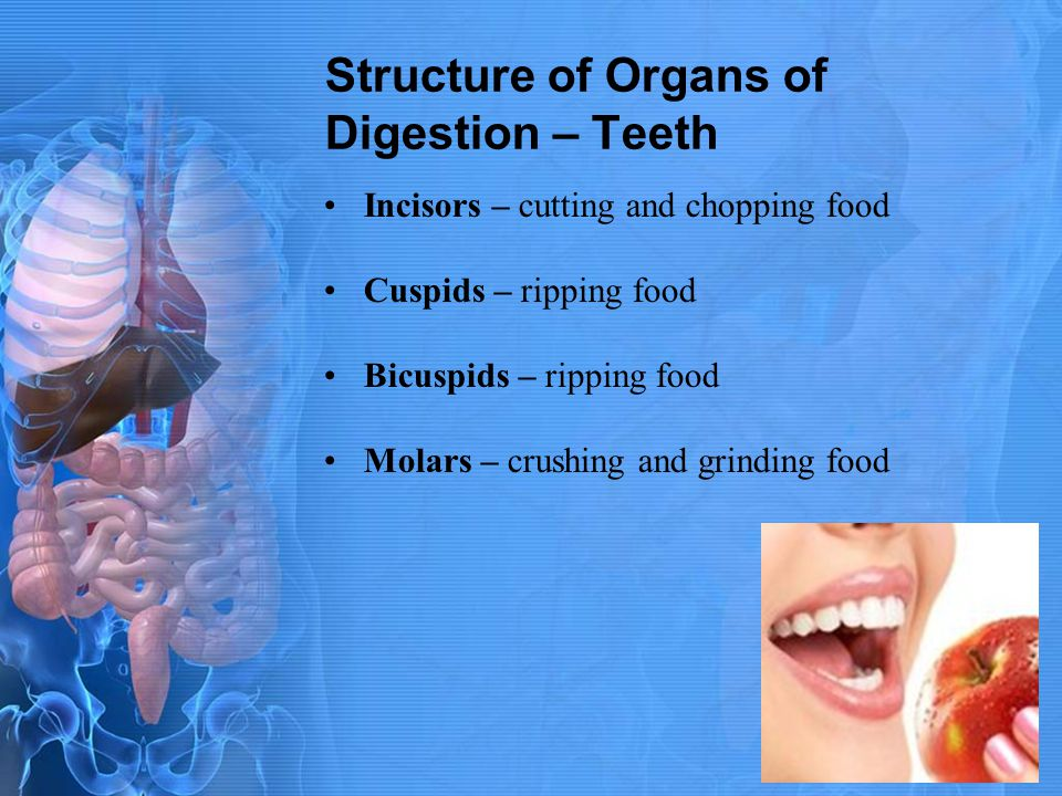 Structure of Organs of Digestion – Teeth