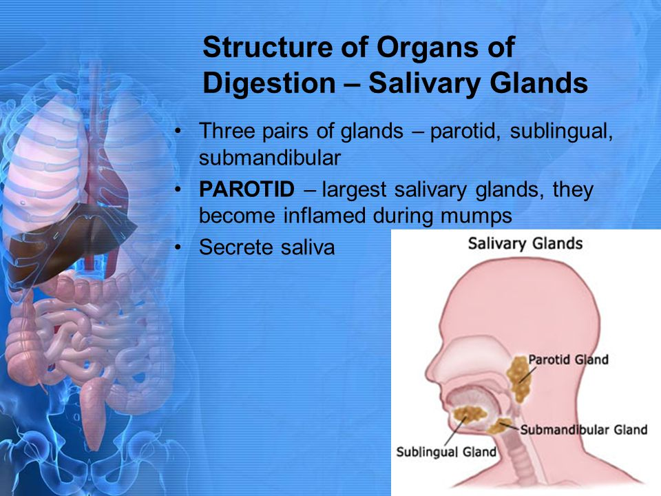 Structure of Organs of Digestion – Salivary Glands