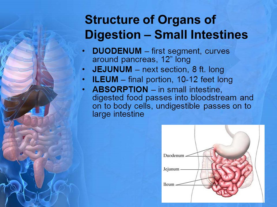 Structure of Organs of Digestion – Small Intestines