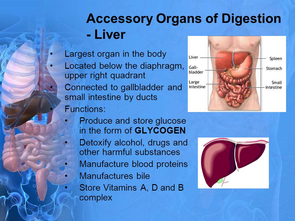 Accessory Organs of Digestion - Liver
