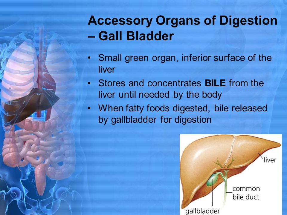 Accessory Organs of Digestion – Gall Bladder