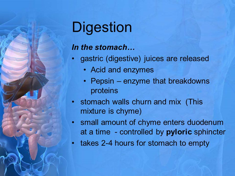Digestion In the stomach… gastric (digestive) juices are released