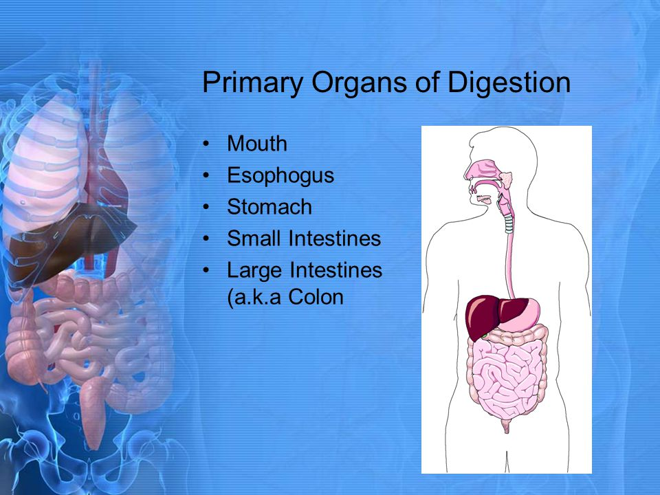 Primary Organs of Digestion