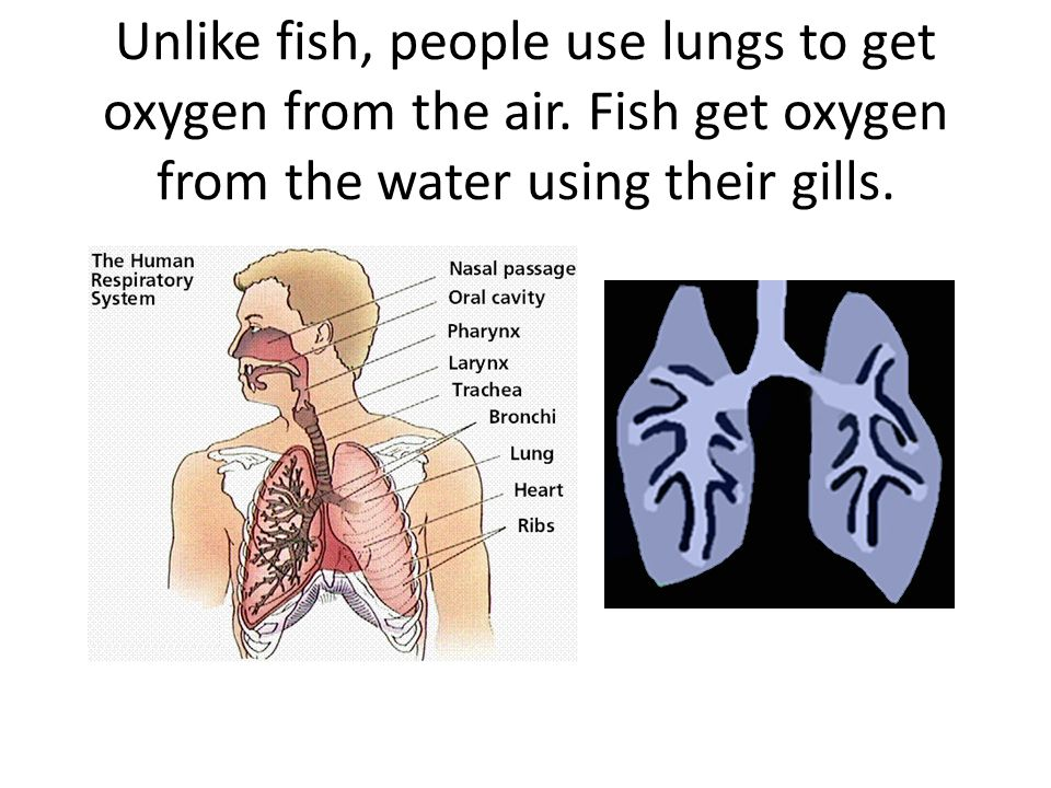 Unlike fish, people use lungs to get oxygen from the air