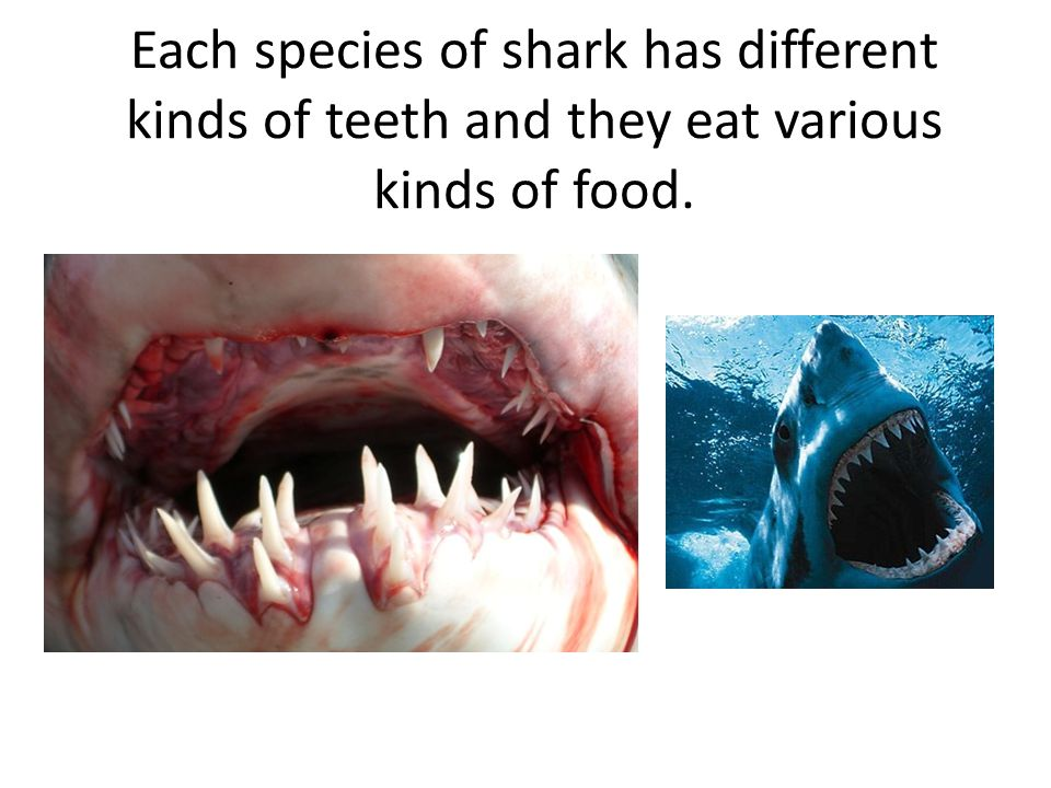 Each species of shark has different kinds of teeth and they eat various kinds of food.