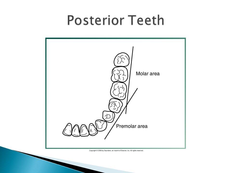 Posterior Teeth
