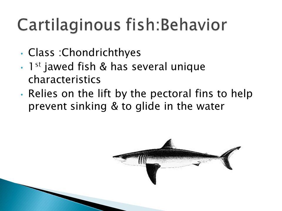 Cartilaginous fish:Behavior
