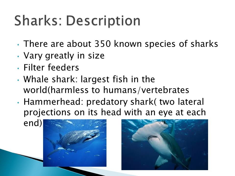 Sharks: Description There are about 350 known species of sharks