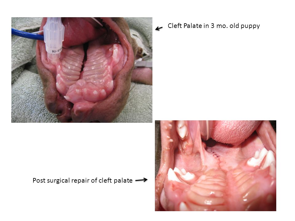 Cleft Palate in 3 mo. old puppy