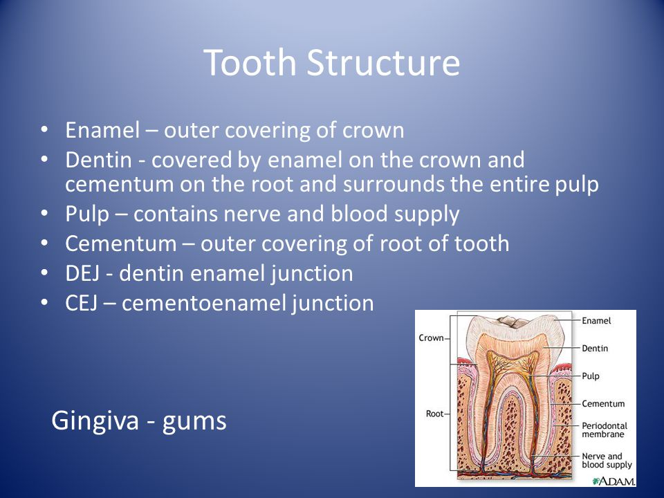 Tooth Structure Gingiva - gums Enamel – outer covering of crown