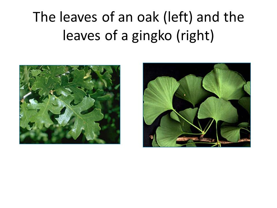 The leaves of an oak (left) and the leaves of a gingko (right)