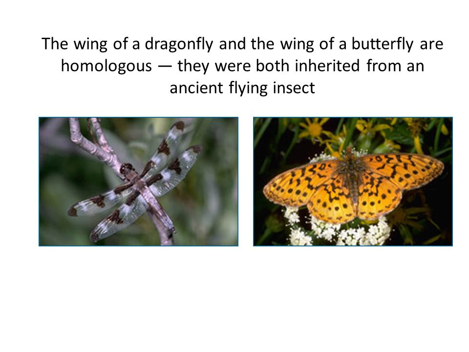 The wing of a dragonfly and the wing of a butterfly are homologous — they were both inherited from an ancient flying insect