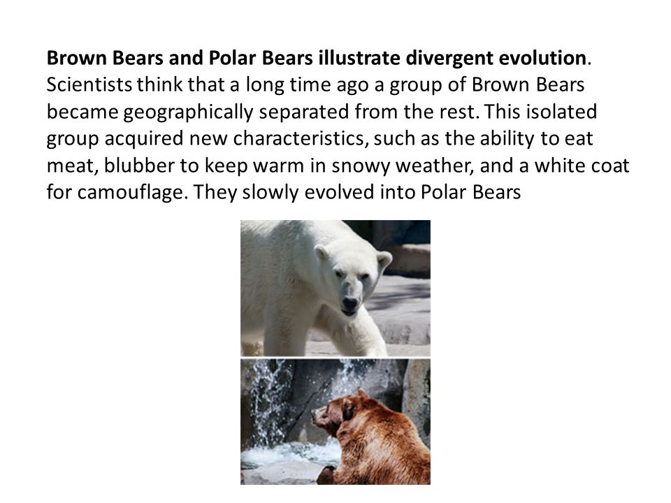 Brown Bears and Polar Bears illustrate divergent evolution.