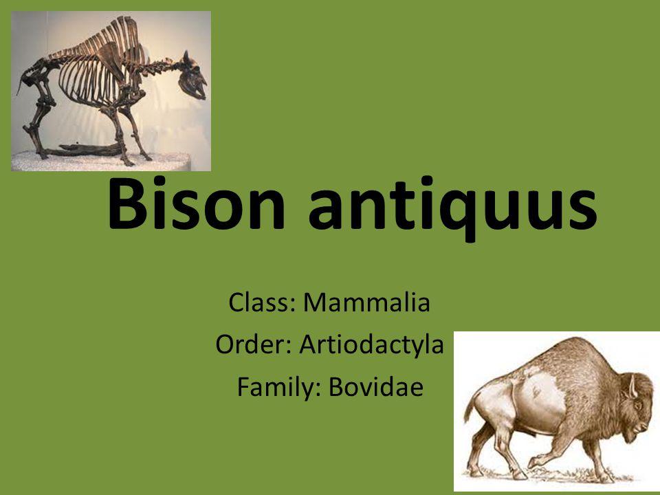 Class: Mammalia Order: Artiodactyla Family: Bovidae