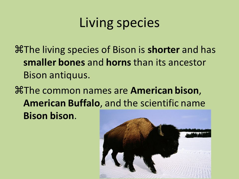 Living species The living species of Bison is shorter and has smaller bones and horns than its ancestor Bison antiquus.
