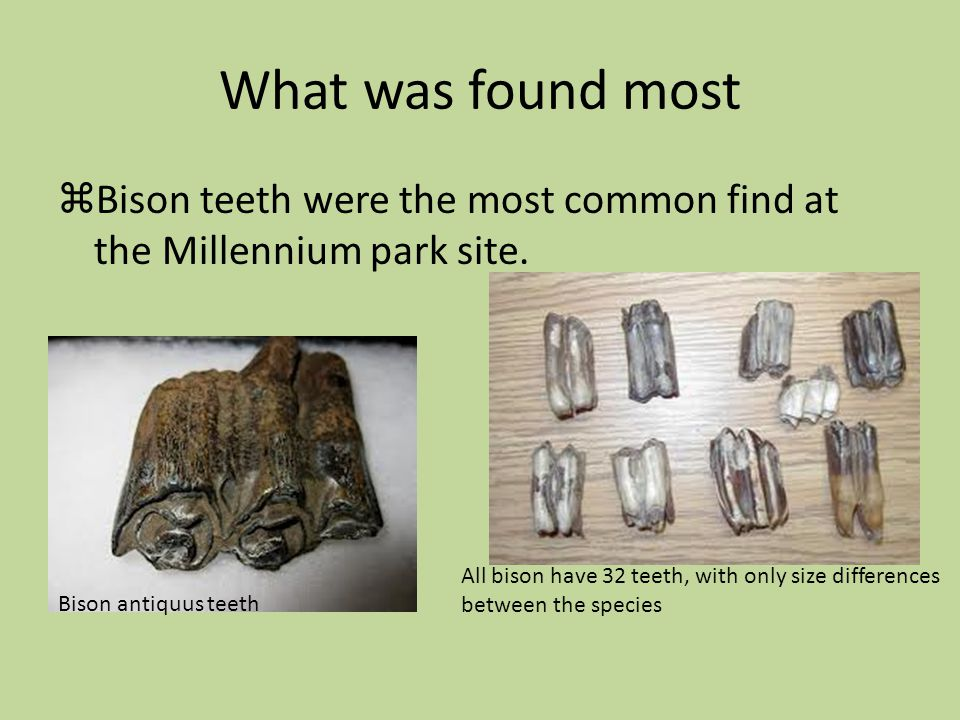 What was found most Bison teeth were the most common find at the Millennium park site.