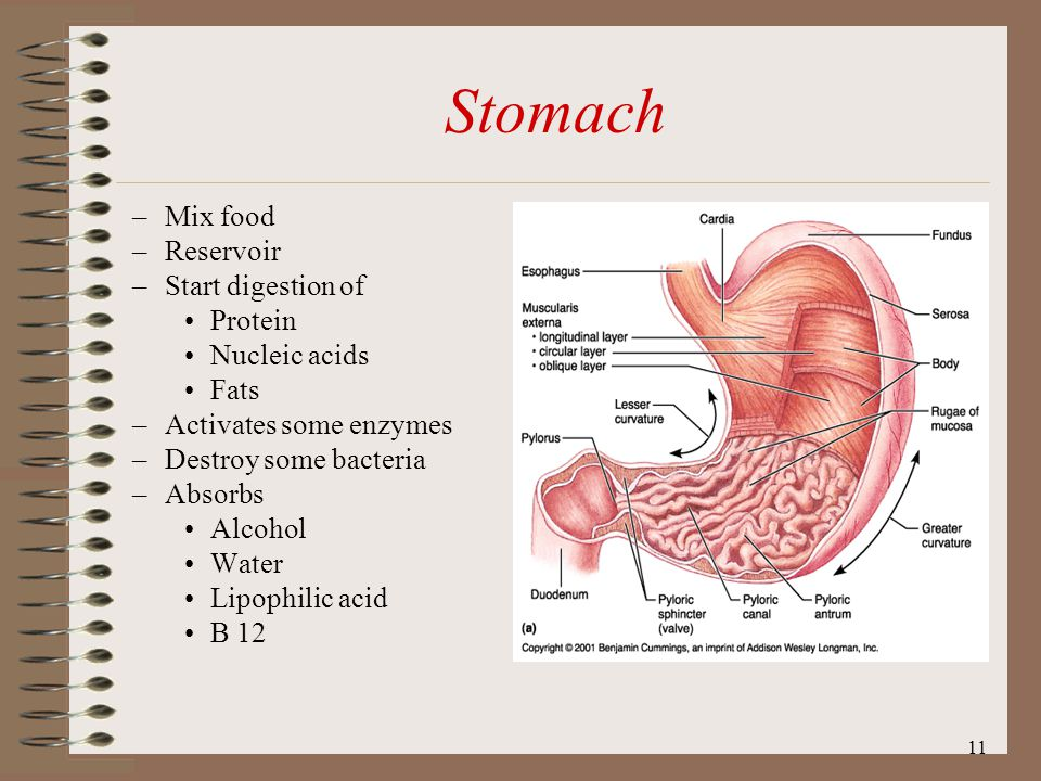Stomach Mix food Reservoir Start digestion of Protein Nucleic acids