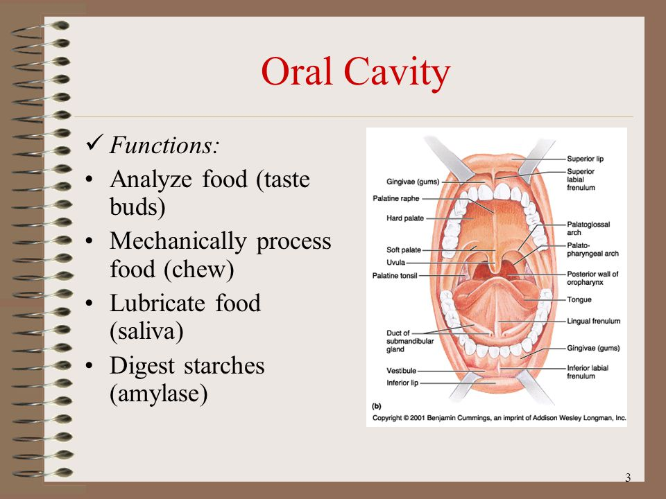 Oral Cavity Functions: Analyze food (taste buds)