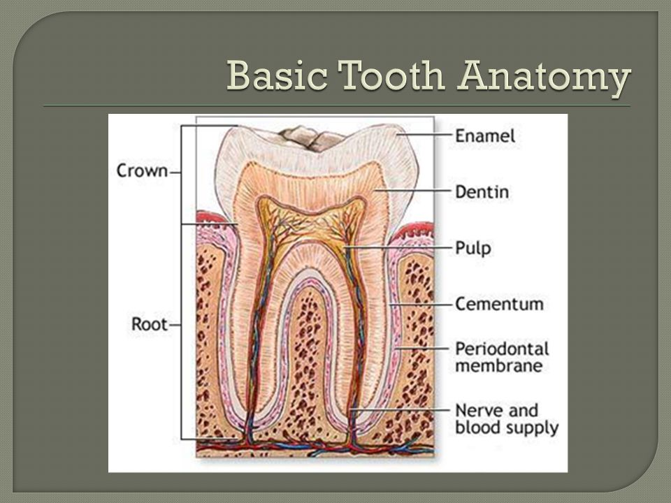 Basic Tooth Anatomy Pulp contains neurovascular supply of tooth that carries nutrients to dentin.