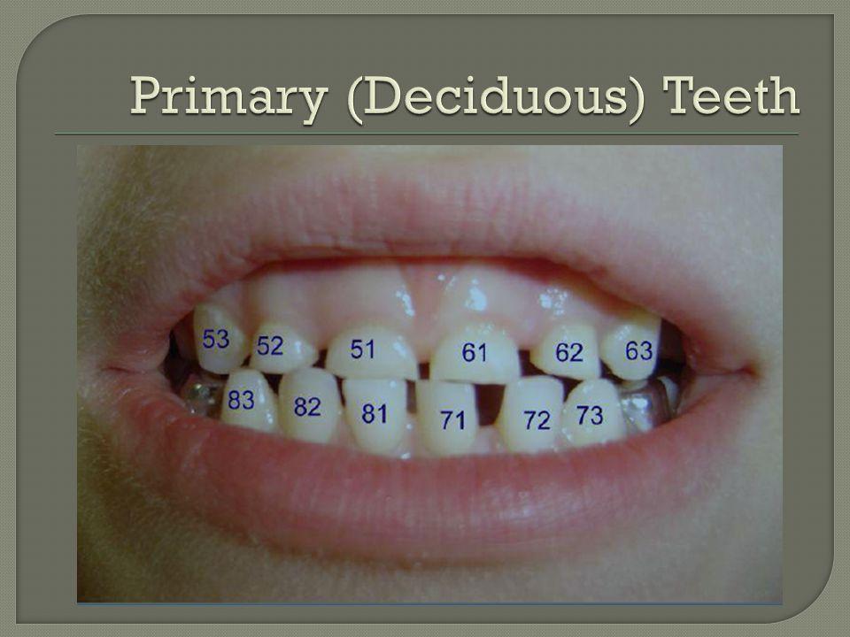 Primary (Deciduous) Teeth