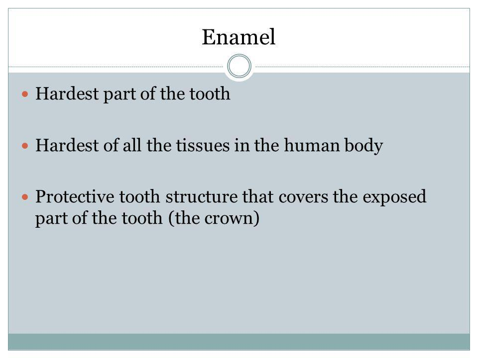Enamel Hardest part of the tooth
