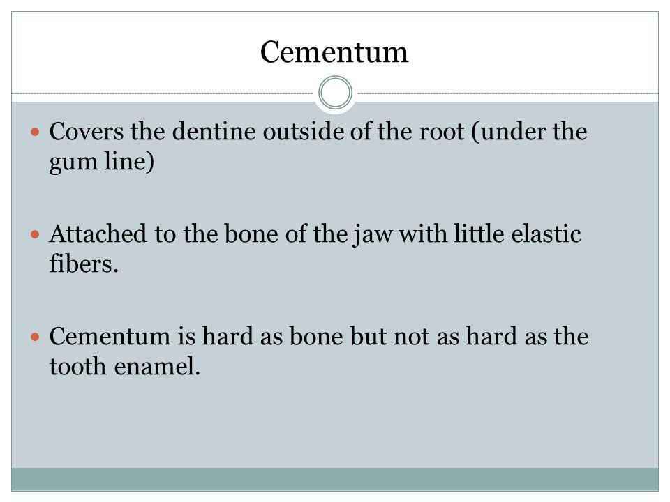 Cementum Covers the dentine outside of the root (under the gum line)