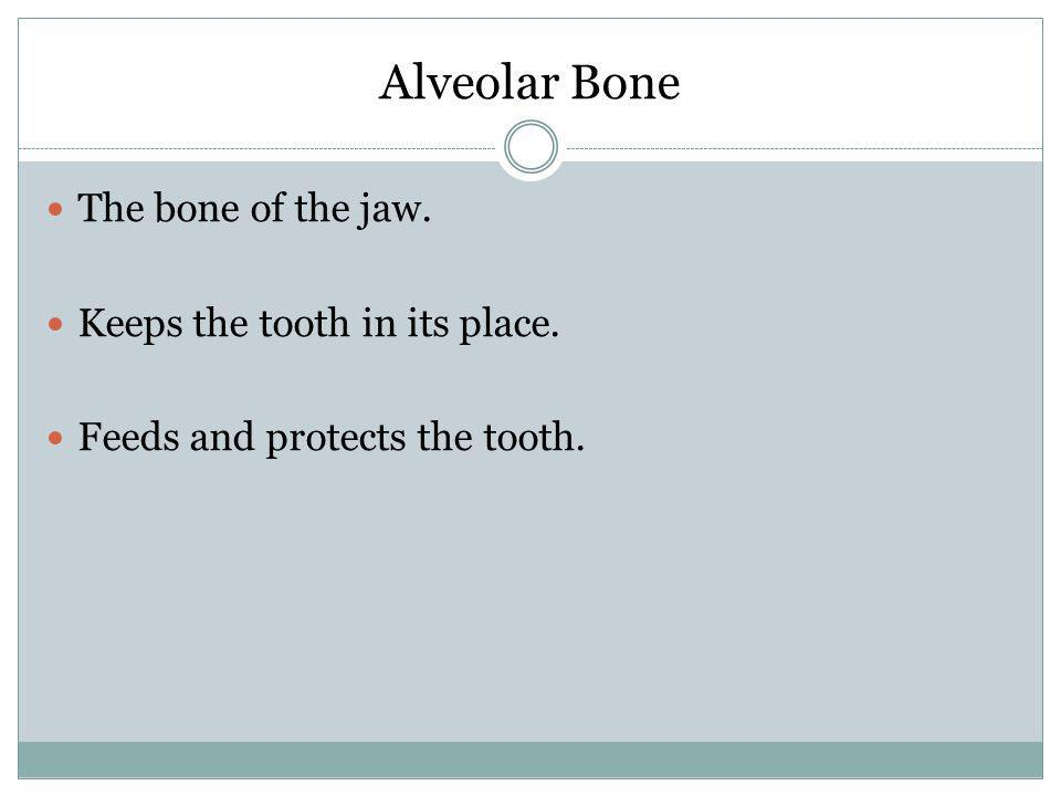Alveolar Bone The bone of the jaw. Keeps the tooth in its place.