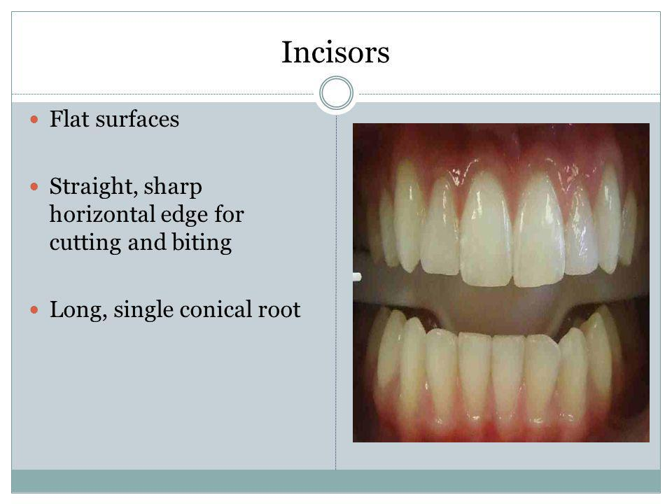 Incisors Flat surfaces