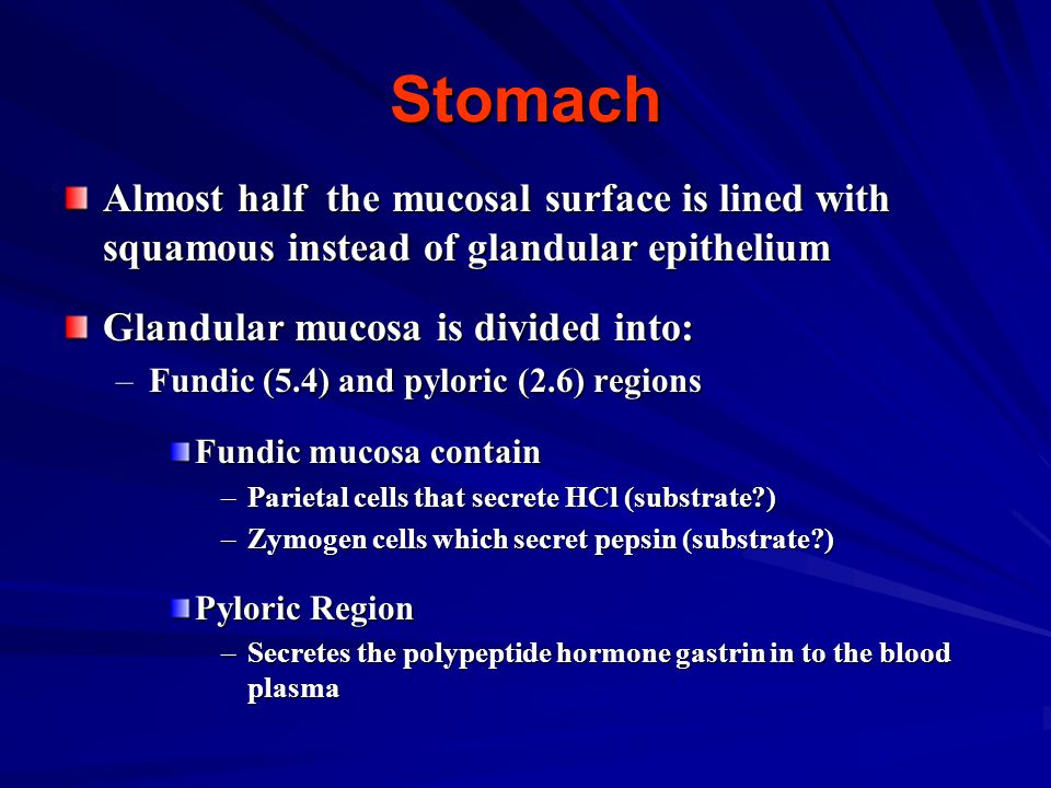 Stomach Almost half the mucosal surface is lined with squamous instead of glandular epithelium. Glandular mucosa is divided into: