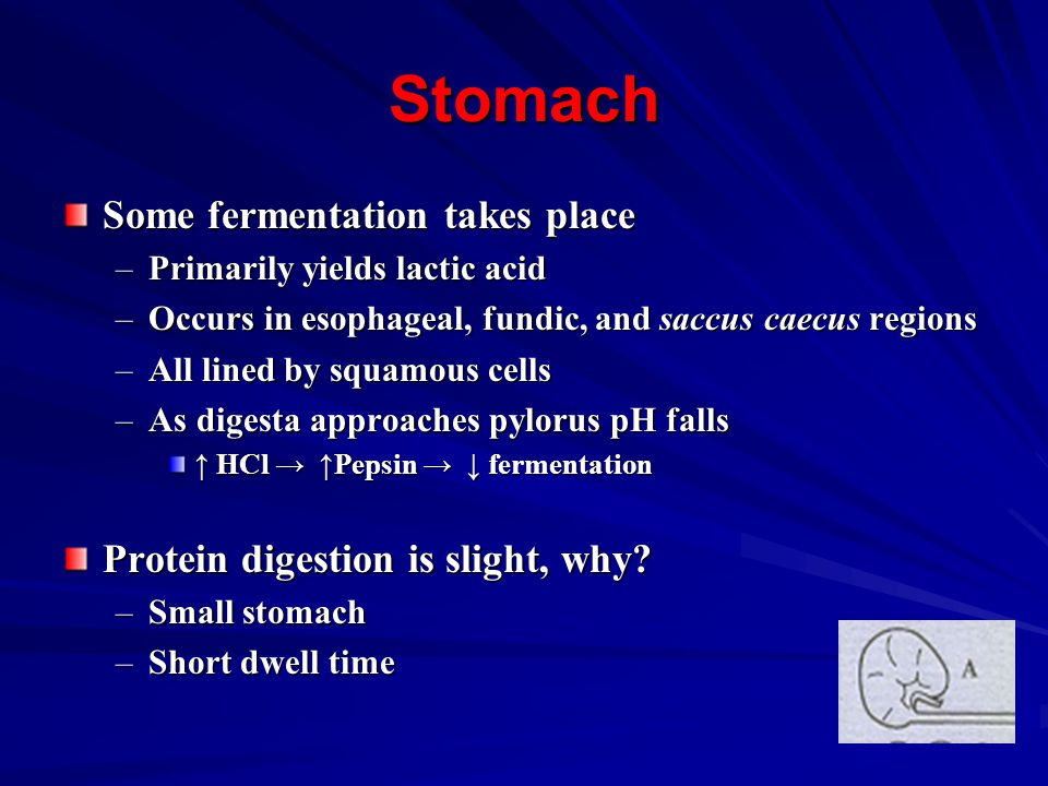 Stomach Some fermentation takes place