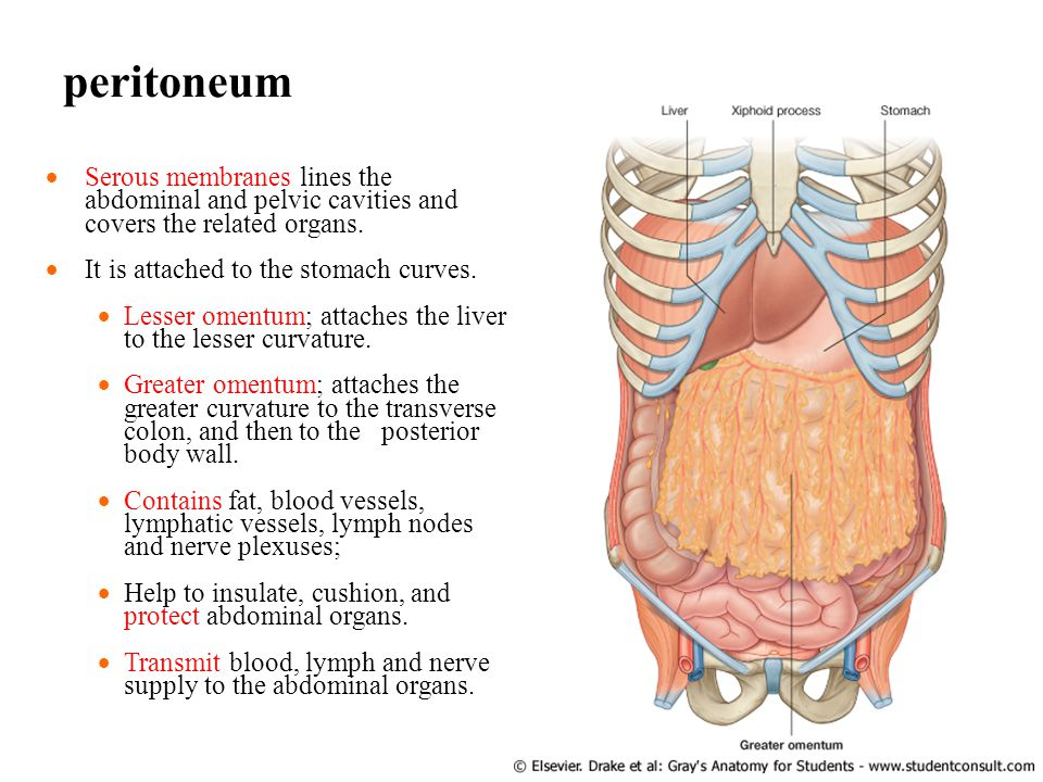 peritoneum Serous membranes lines the abdominal and pelvic cavities and covers the related organs. It is attached to the stomach curves.