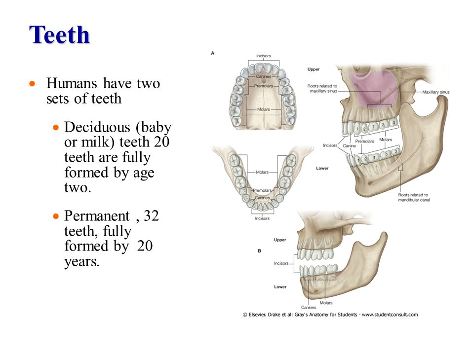 Teeth Humans have two sets of teeth