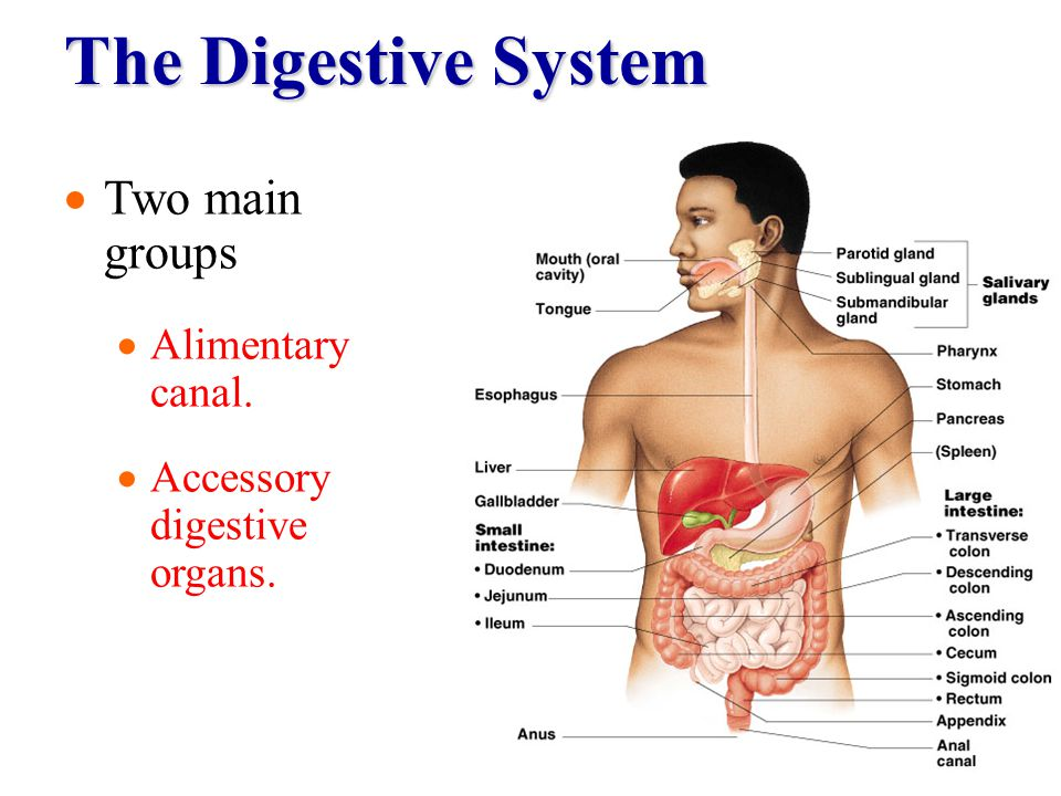 The Digestive System Two main groups Alimentary canal.