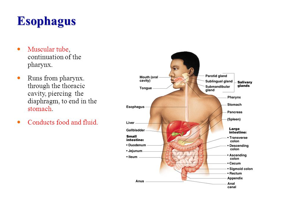Esophagus Muscular tube, continuation of the pharynx.