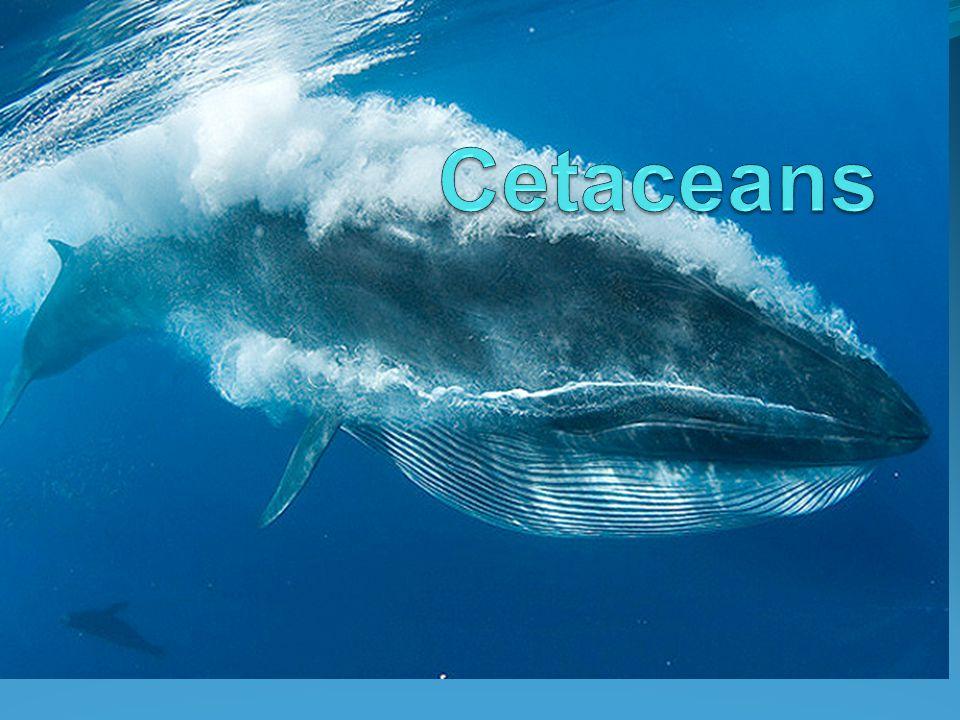 Cetaceans