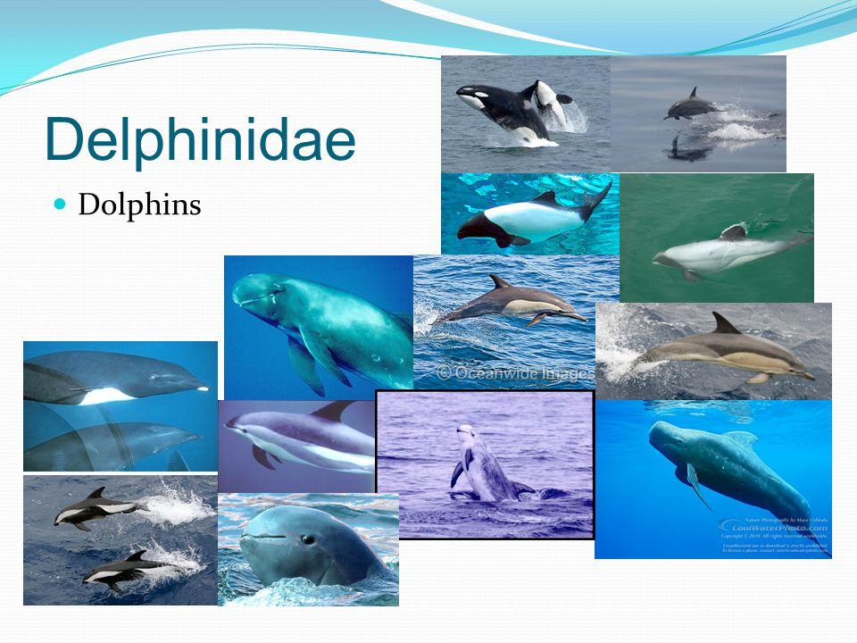 Delphinidae Dolphins