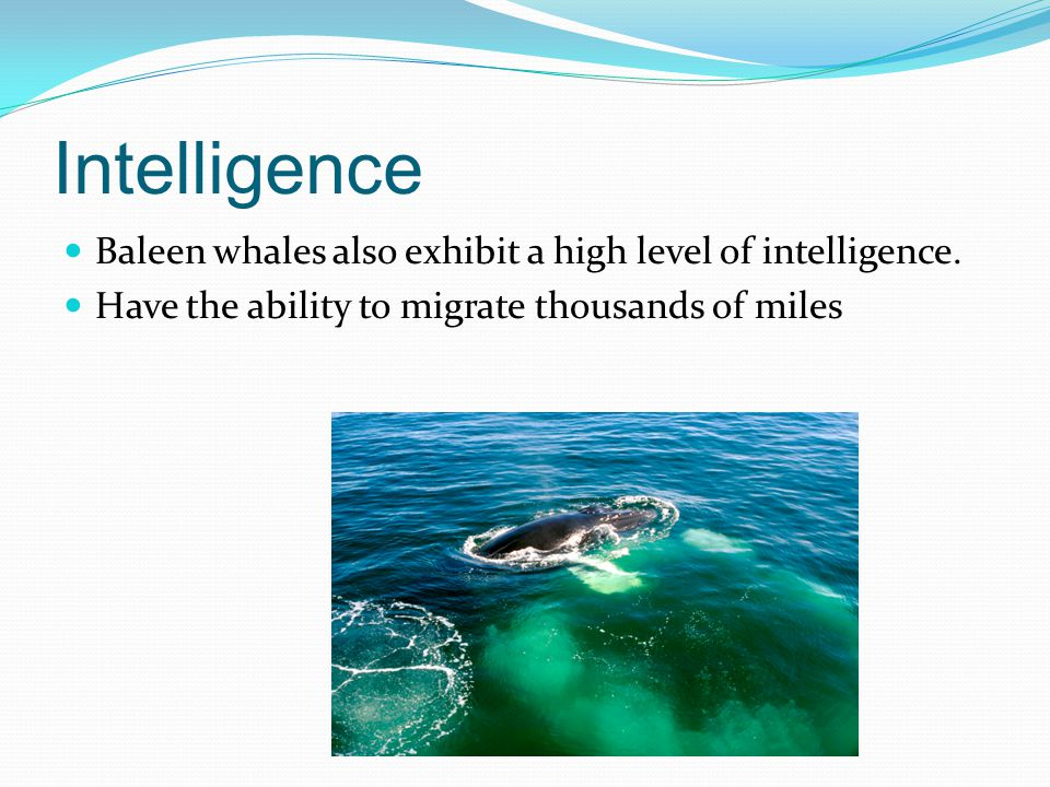 Intelligence Baleen whales also exhibit a high level of intelligence.