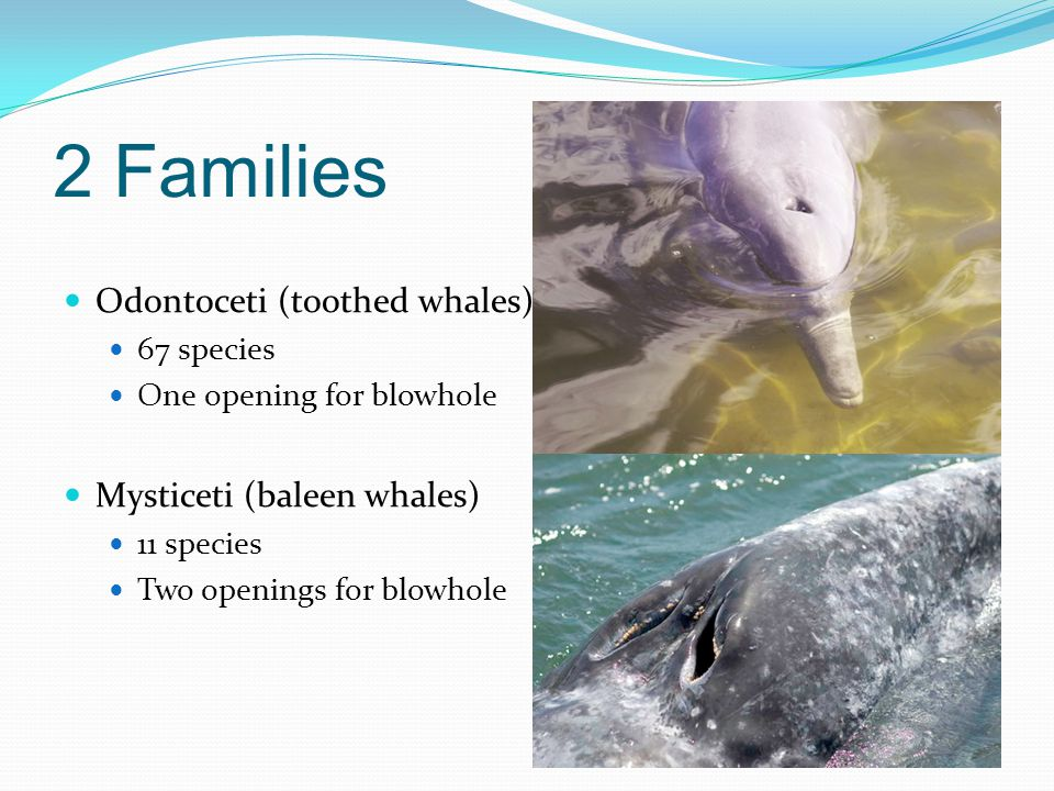 2 Families Odontoceti (toothed whales) Mysticeti (baleen whales)