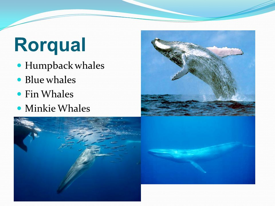Rorqual Humpback whales Blue whales Fin Whales Minkie Whales