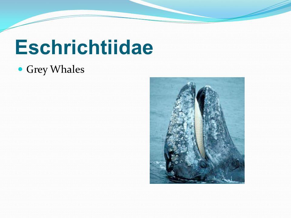 Eschrichtiidae Grey Whales