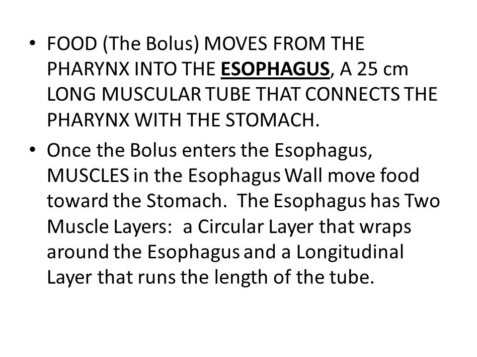 FOOD (The Bolus) MOVES FROM THE PHARYNX INTO THE ESOPHAGUS, A 25 cm LONG MUSCULAR TUBE THAT CONNECTS THE PHARYNX WITH THE STOMACH.