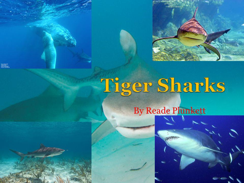 Tiger Sharks By Reade Plunkett