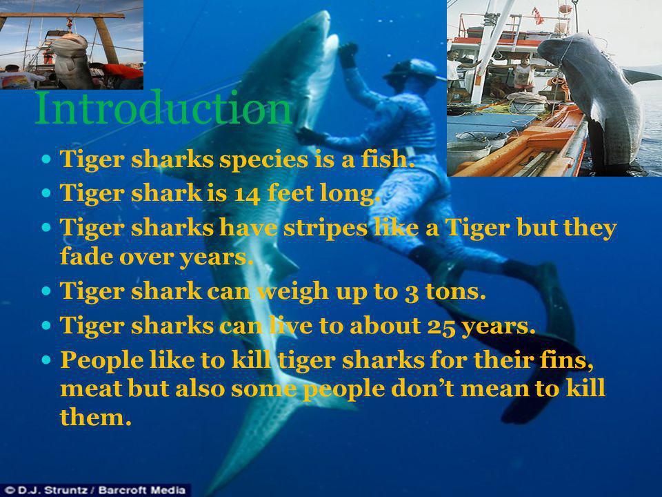 Introduction Tiger sharks species is a fish.