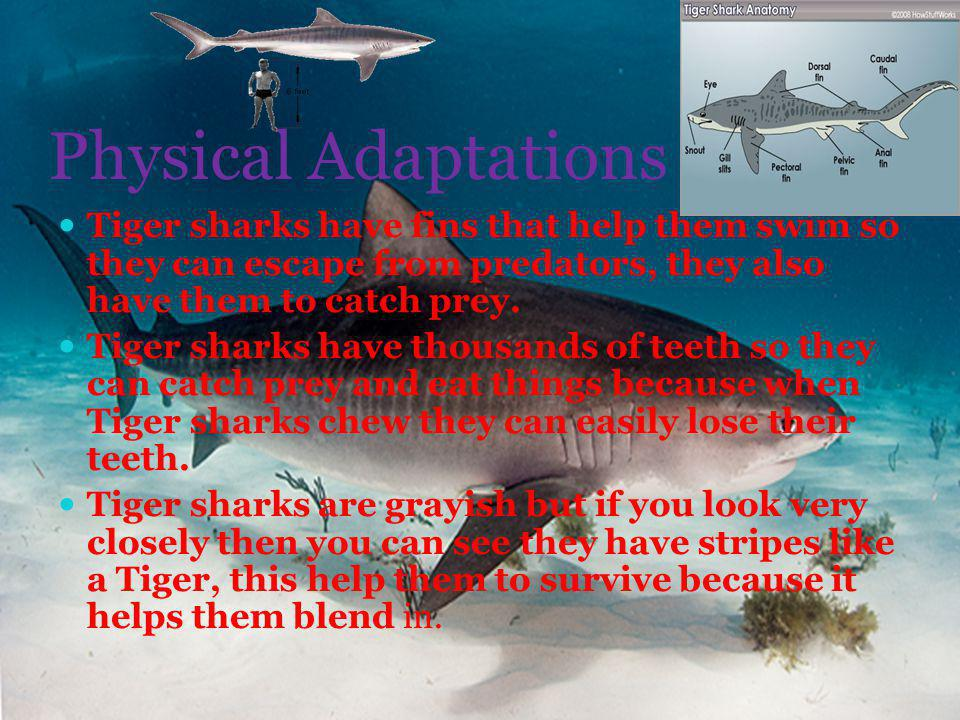 Physical Adaptations Tiger sharks have fins that help them swim so they can escape from predators, they also have them to catch prey.