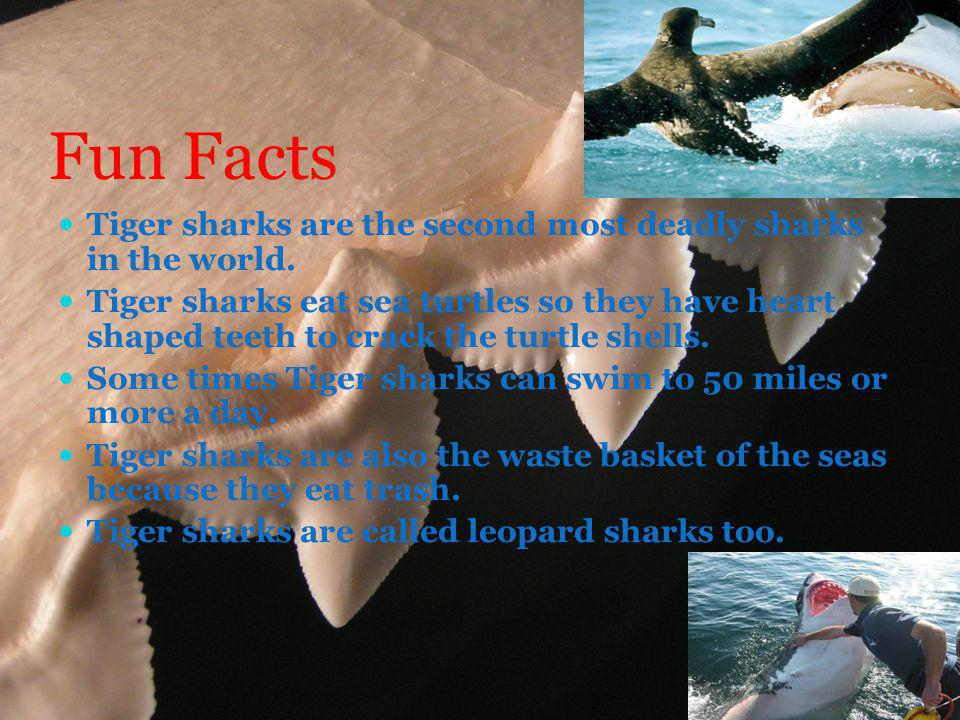 Fun Facts Tiger sharks are the second most deadly sharks in the world.